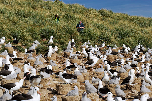 Black-browed Albatross colony, Diomedea melanophris. Cone-like nests in tightly packed colonies are situated where constant winds are for take-offs and landing. Steeple Jason Island, Falkland Islands. Dist. Circumpolar:スマホ壁紙(壁紙.com)