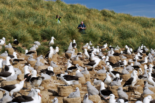 Falkland Islands「Black-browed Albatross colony, Diomedea melanophris. Cone-like nests in tightly packed colonies are situated where constant winds are for take-offs and landing. Steeple Jason Island, Falkland Islands. Dist. Circumpolar」:スマホ壁紙(9)
