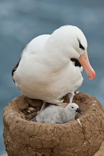 Falkland Islands「Black-browed Albatros (Thalassarche melanophris) and it's chick in a nest」:スマホ壁紙(6)