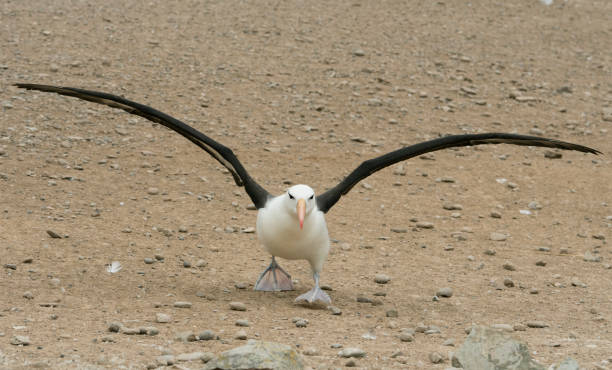 Black-browed Albatross (Thalassarche melanophris) Taking off, Falkland Islands:スマホ壁紙(壁紙.com)