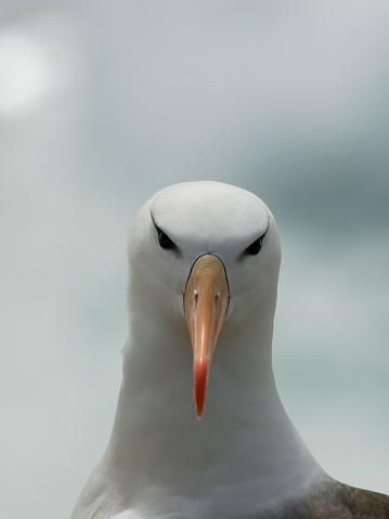 Falkland Islands「Black-browedalbatross(Thalassarchemelanophrys), Falkland Islands」:スマホ壁紙(6)