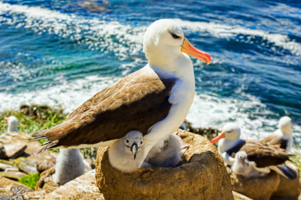 Black-Browed albatross (Thalassarche melanophris), the rookery:スマホ壁紙(壁紙.com)