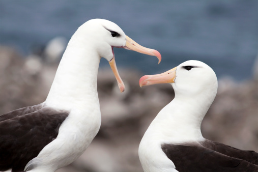 Falkland Islands「Black-Browed Albatross Pair, Falkland Islands」:スマホ壁紙(10)