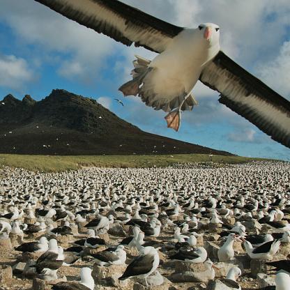 "Falkland Islands「Black-browed Albatross, massive colony, ""photo bomb"" Falkland Islands」:スマホ壁紙(8)"