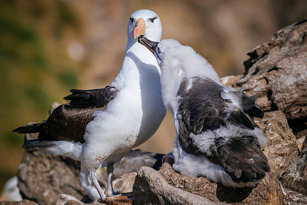 Black-browed Albatross chick feeding:スマホ壁紙(壁紙.com)