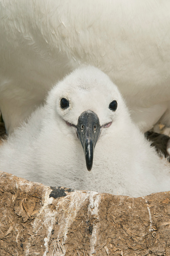 Falkland Islands「Black-browed Albatross chick on nest, Falkland Islands」:スマホ壁紙(12)