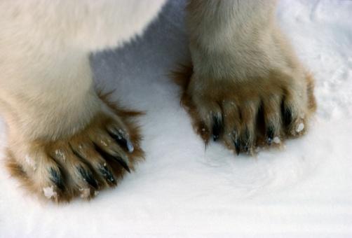 Polar Bear「Polar Bear close up of paws (Ursus maritimus) Canada」:スマホ壁紙(1)