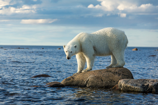 Polar Bear「Polar Bear, Hudson Bay, Manitoba, Canada」:スマホ壁紙(10)