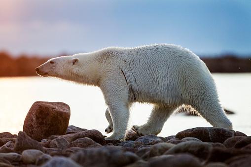 Polar Bear「Polar Bear, Hudson Bay, Manitoba, Canada」:スマホ壁紙(17)