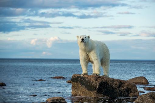Hudson Bay「Polar Bear, Hudson Bay, Manitoba, Canada」:スマホ壁紙(12)