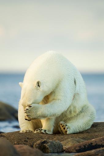 Polar Bear「Polar Bear, Hudson Bay, Manitoba, Canada」:スマホ壁紙(12)