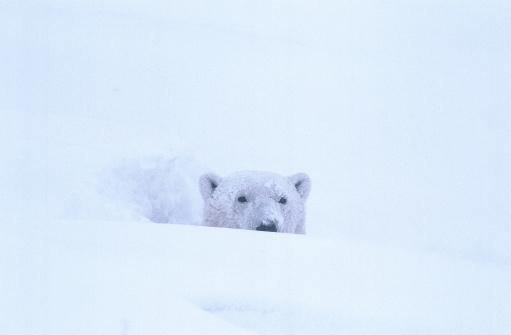 Polar Bear「Polar bear sitting out snowstorm.  Ursis maritimus.  Hudson Bay, Manitoba, Canada.」:スマホ壁紙(9)