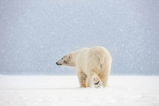 Polar bear in falling snow.:スマホ壁紙(壁紙.com)
