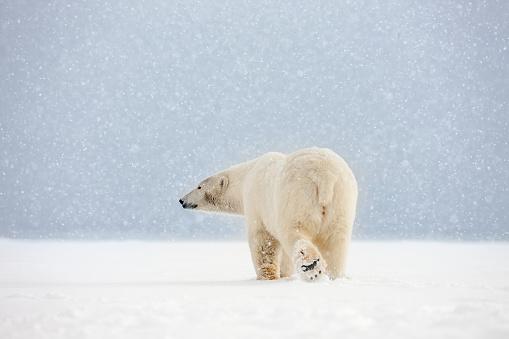 Arctic National Wildlife Refuge「Polar bear in falling snow.」:スマホ壁紙(8)