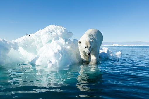 Polar Bear「Polar Bear on Iceberg, Hudson Bay, Nunavut, Canada」:スマホ壁紙(19)