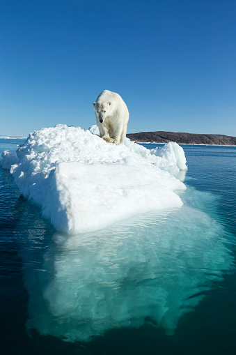 Pack Ice「Polar Bear on Iceberg, Hudson Bay, Nunavut, Canada」:スマホ壁紙(17)