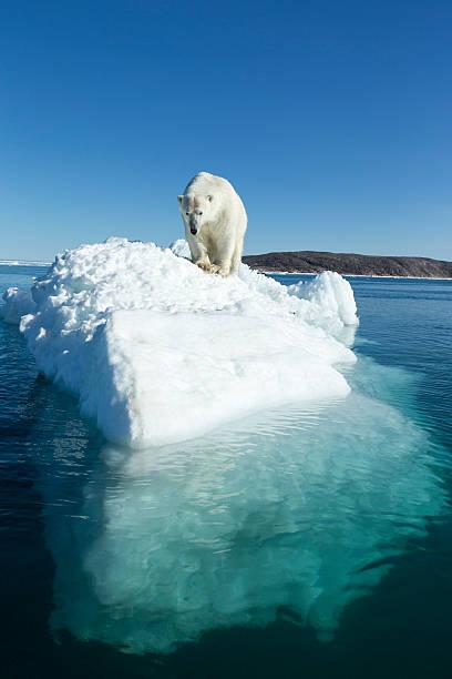 Polar Bear on Iceberg, Hudson Bay, Nunavut, Canada:スマホ壁紙(壁紙.com)