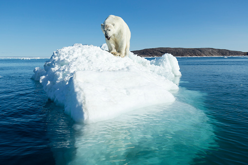 Pack Ice「Polar Bear on Iceberg, Hudson Bay, Nunavut, Canada」:スマホ壁紙(2)