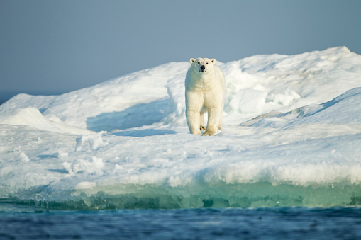 Pack Ice「Polar Bear on Iceberg, Hudson Bay, Nunavut, Canada」:スマホ壁紙(1)