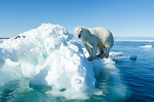 Polar Bear「Polar Bear on Iceberg, Hudson Bay, Nunavut, Canada」:スマホ壁紙(9)