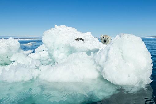 Pack Ice「Polar Bear on Iceberg, Hudson Bay, Nunavut, Canada」:スマホ壁紙(9)