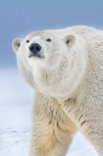 Arctic National Wildlife Refuge「Polar bear」:スマホ壁紙(18)
