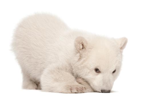 Bear Cub「Polar bear cub lying」:スマホ壁紙(6)