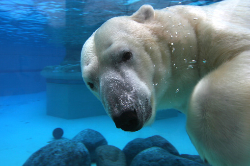 Zoo「Polar bear swimming in tank, looking at camera」:スマホ壁紙(13)