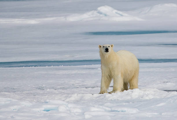 Polar Bear, Ursus Maritimus on Pack Ice of Arctic:スマホ壁紙(壁紙.com)