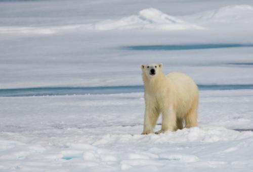Polar Bear「Polar Bear, Ursus Maritimus on Pack Ice of Arctic」:スマホ壁紙(14)