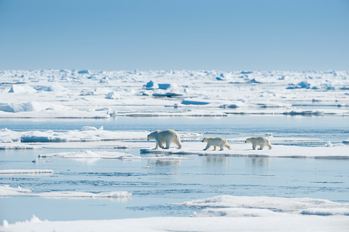 Polar Bear「Polar Bear, Ursus maritimus, Mother with Two Cubs, North East Greenland Coast, Greenland, Arctic」:スマホ壁紙(16)
