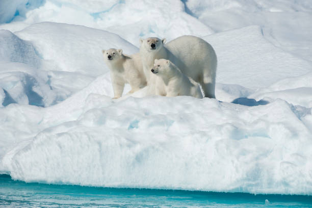 Polar Bear, Ursus maritimus, Mother with Two Cubs, North East Greenland Coast, Greenland, Arctic:スマホ壁紙(壁紙.com)