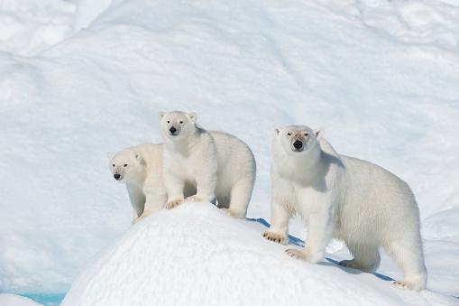 Polar Bear「Polar Bear, Ursus maritimus, Mother with Two Cubs, North East Greenland Coast, Greenland, Arctic」:スマホ壁紙(2)