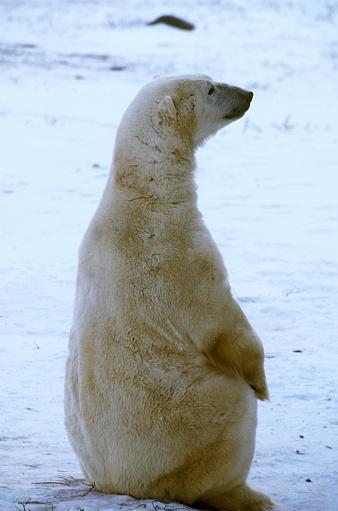 Polar Bear「Polar Bear Sitting」:スマホ壁紙(14)