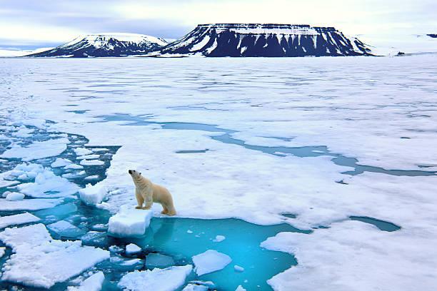 Polar bear on pack ice:スマホ壁紙(壁紙.com)