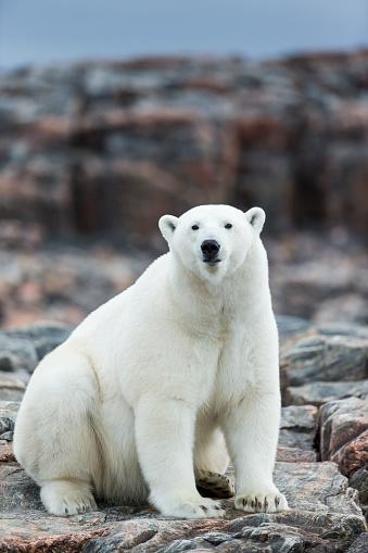 Polar Bear「Polar Bear on Harbour Islands, Hudson Bay, Nunavut, Canada」:スマホ壁紙(18)