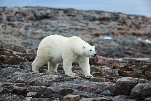 Polar Bear「Polar Bear on Harbour Islands, Hudson Bay, Nunavut, Canada」:スマホ壁紙(14)