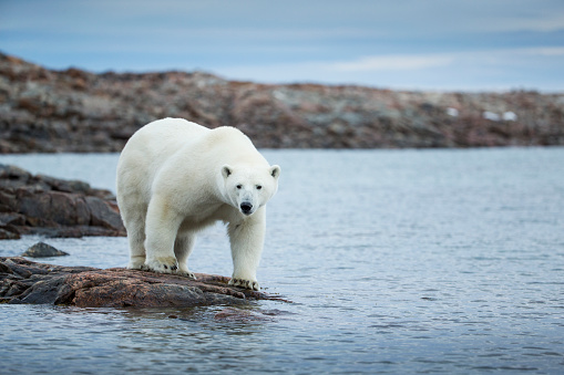 Polar Bear「Polar Bear on Harbour Islands, Hudson Bay, Nunavut, Canada」:スマホ壁紙(5)
