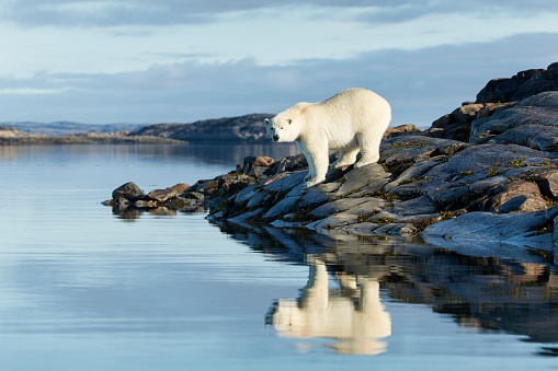 Polar Bear「Polar Bear on Harbour Islands, Hudson Bay, Nunavut, Canada」:スマホ壁紙(11)