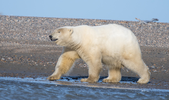 Polar Bear「Polar bear」:スマホ壁紙(8)