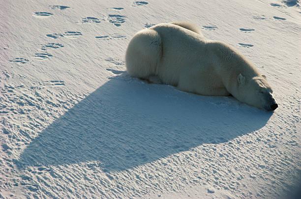 Polar bear waiting in ambush on tundra:スマホ壁紙(壁紙.com)