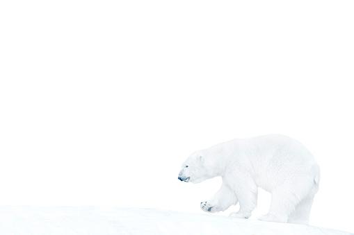 Polar Bear「Polar bear walking on ice」:スマホ壁紙(1)