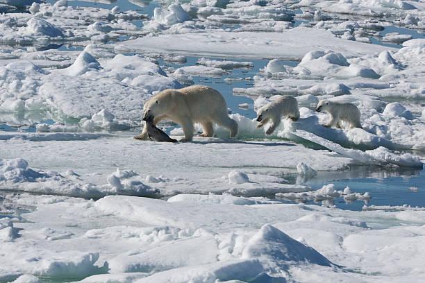 A polar bear hunting a seal:スマホ壁紙(壁紙.com)