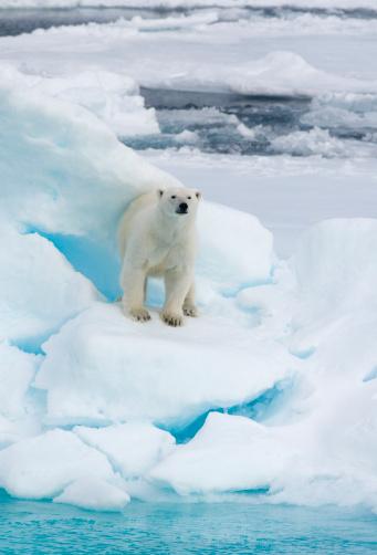 Polar Bear「Polar Bear on  Pack Ice, Arctic WILD」:スマホ壁紙(10)