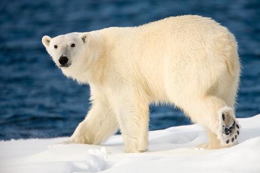 Spitsbergen「Polar Bear on Snow Covered Iceberg at Spitsbergen」:スマホ壁紙(18)
