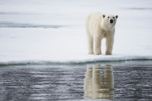Svalbard and Jan Mayen「A polar bear on a winter day walking on the ice and reflected on water」:スマホ壁紙(9)
