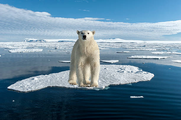 Polar Bear:スマホ壁紙(壁紙.com)