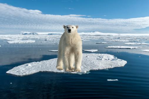 Drift Ice「Polar Bear」:スマホ壁紙(8)