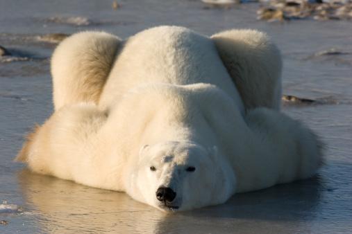 Polar Bear「Polar bear lying down.」:スマホ壁紙(10)