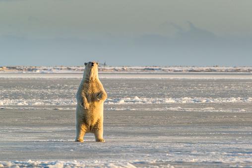 Arctic National Wildlife Refuge「Polar Bear (Ursus Maritimus) rearing up near Kaktovic, Barter Island, Alaska 」:スマホ壁紙(14)
